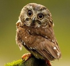Saw Whet Owl photo from the Internet